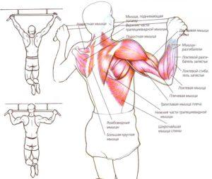 мышцы задействованные при подтягиваниях