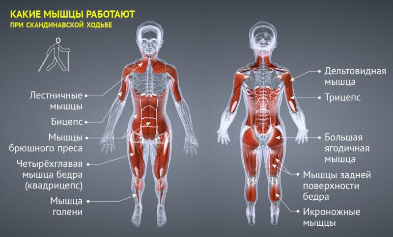 Какие группы мышц работают
