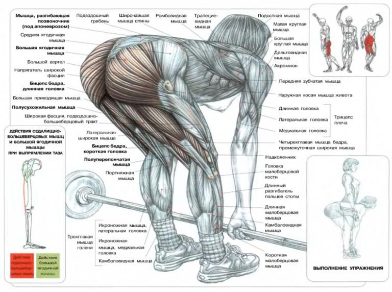 Основные задействованные мышцы при мертвой становой тяге