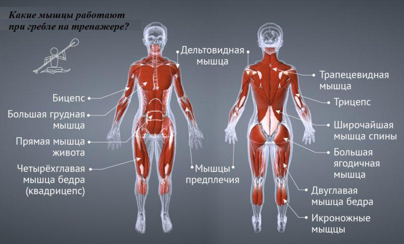 Основные задействованные мышцы при гребли на тренажере