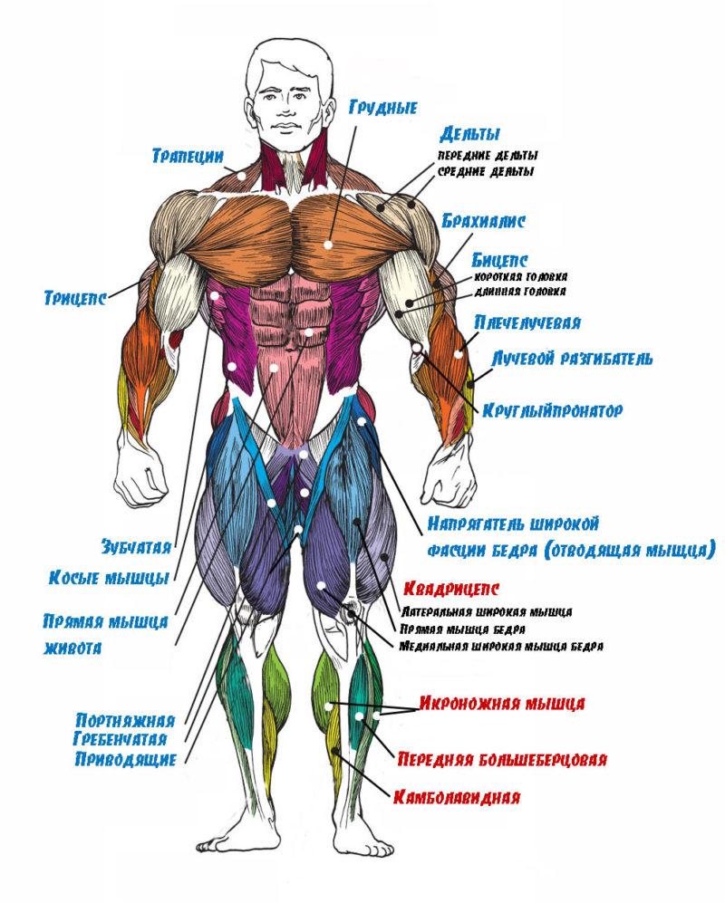 мышцы спереди